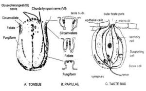 TasteBuddiagram